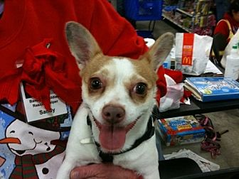 Toy Fox Terrier/Chihuahua Mix Dog for adoption in Fresno, California - Meme
