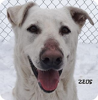 German Shepherd Dog/Boxer Mix Dog for adoption in Lapeer, Michigan - ZEUS-BEAUTIFUL SHEPHERD/BOXER
