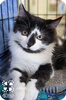Domestic Mediumhair Kitten for adoption in Merrifield, Virginia - Janus