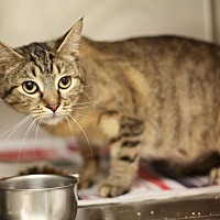 Domestic Shorthair Cat for adoption in Palatine, Illinois - Selena