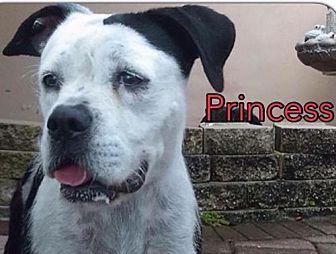 American Bulldog Mix Dog for adoption in Pompano beach, Florida - Callie