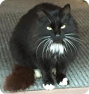 Domestic Longhair Cat for adoption in Caro, Michigan - Zazzy