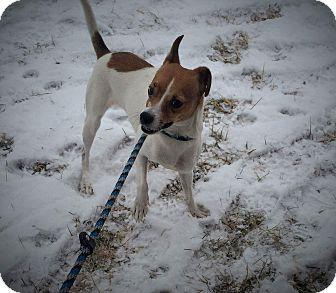 Rat Terrier Mix Dog for adoption in Flint, Michigan - Jackie  #5842
