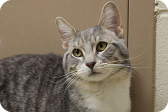 Domestic Shorthair Cat for adoption in Bucyrus, Ohio - Will Power