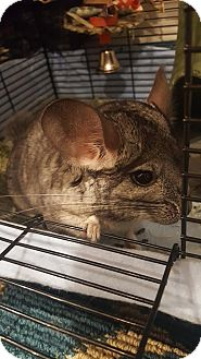 Chinchilla for adoption in Lindenhurst, New York - Lily