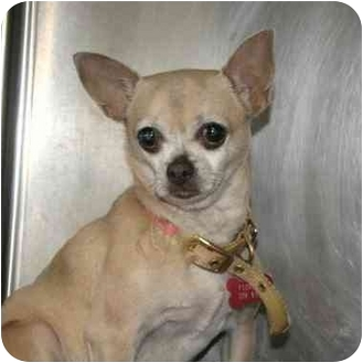 Chihuahua Mix Dog for adoption in Denver, Colorado - Pickles