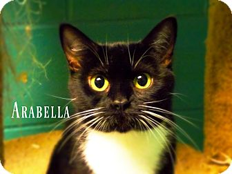 Domestic Shorthair Cat for adoption in Defiance, Ohio - Arabella