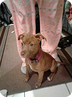 Labrador Retriever/Pit Bull Terrier Mix Puppy for adoption in LAKEWOOD, California - Nikkie