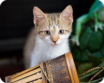 Domestic Shorthair Kitten for adoption in Satellite Beach, Florida - Petunia