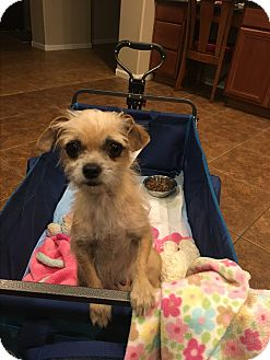 Terrier (Unknown Type, Small) Mix Dog for adoption in Mesa, Arizona - ROSE 4YRS TERRIER