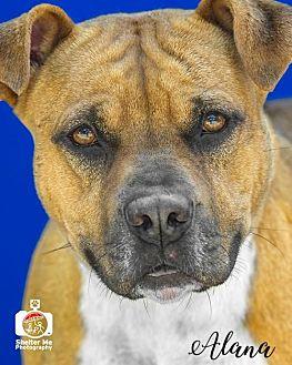Pit Bull Terrier/Boxer Mix Dog for adoption in Livingston, Louisiana - Alana
