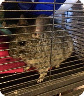 Chinchilla for adoption in Grand Rapids, Michigan - Leia