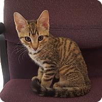 Adopt A Pet :: Sadie - Arlington/Ft Worth, TX