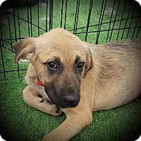 Adopt A Pet :: Maple - Huntsville, TN