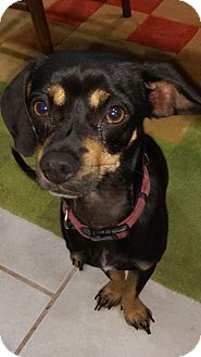 Miniature Pinscher Mix Dog for adoption in Manhattan, Kansas - Munchkin