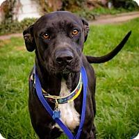 Labrador Retriever Mix Dog for adoption in Denver, Colorado - Mia