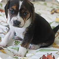Adopt A Pet :: Snickerdoodle - West Nyack, NY