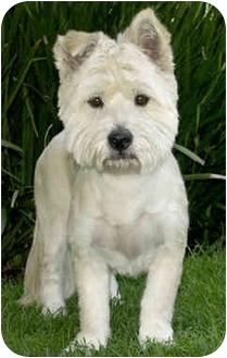 Westie, West Highland White Terrier/Westie, West Highland White Terrier Mix Dog for adoption in Marina del Rey, California - Sophie