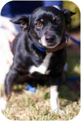 Chihuahua Mix Dog for adoption in Houston, Texas - Mistletoe