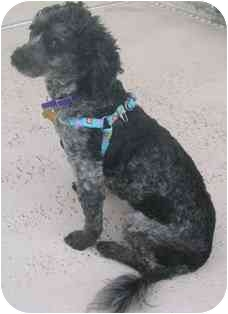 Toy Poodle Mix Dog for adoption in Melbourne, Florida - GAIA