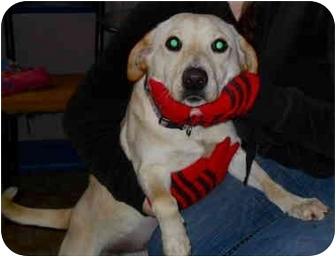 Labrador Retriever/Beagle Mix Dog for adoption in Buffalo, New York - Maizy: Petite Lab