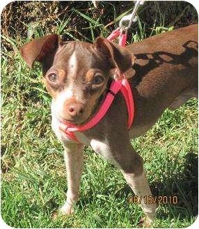 Chihuahua Dog for adoption in Sherman Oaks, California - Erick