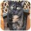 Photo 3 - Domestic Shorthair Kitten for adoption in Stafford, Virginia - Autumn