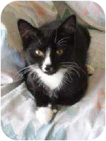 Domestic Shorthair Kitten for adoption in Plymouth, Massachusetts - Mario