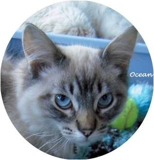 Siamese Kitten for adoption in Mandeville Canyon, California - Ocean