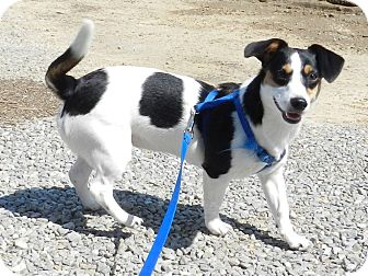 Basset Hound/Jack Russell Terrier Mix Dog for adoption in Lawrenceburg, Tennessee - Cassie