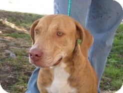 Hound (Unknown Type)/American Pit Bull Terrier Mix Dog for adoption in Kingston, Washington - TYCE