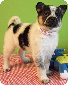 Australian Cattle Dog/American Eskimo Dog Mix Puppy for adoption in Struthers, Ohio - Sheldon
