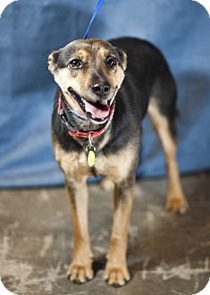Shepherd (Unknown Type) Mix Dog for adoption in Westminster, Colorado - Jewel