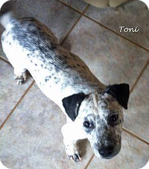 Dalmatian/Labrador Retriever Mix Puppy for adoption in Mandeville Canyon, California - Toni