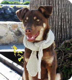 Doberman Pinscher Mix Puppy for adoption in Irvine, California - CHOCOLATE
