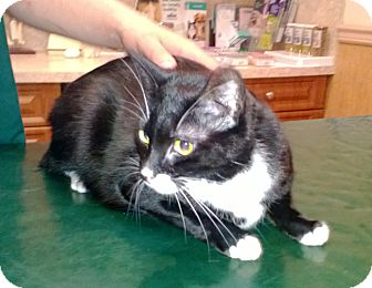 Domestic Shorthair Cat for adoption in Speonk, New York - Chicky