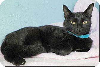 Domestic Shorthair Cat for adoption in Sullivan, Missouri - Isabella