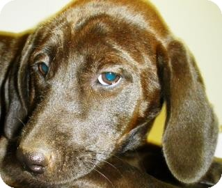 Labrador Retriever/Hound (Unknown Type) Mix Puppy for adoption in Lincolnton, North Carolina - Elaine