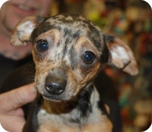 Chihuahua Mix Dog for adoption in Brooklyn, New York - Ben