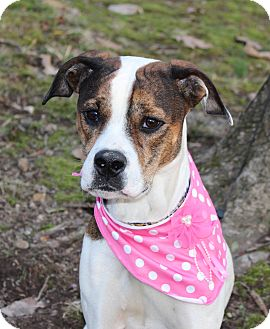 Boxer Mix Dog for adoption in Clarksville, Tennessee - Tia