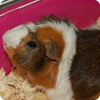Adopt A Pet :: Guinea Pigs - Brooklyn, NY