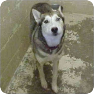 Siberian Husky Dog for adoption in Various Locations, Indiana - BRING ME HOME NOW!!!