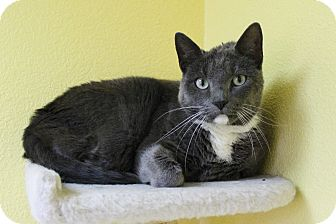 Domestic Shorthair Cat for adoption in Benbrook, Texas - Wally