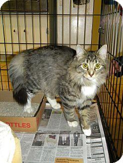 Domestic Mediumhair Cat for adoption in Parkville, Missouri - Fuzzy Man