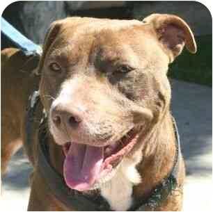 American Pit Bull Terrier Mix Dog for adoption in Berkeley, California - Chani