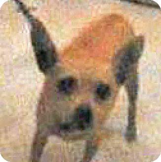 Chihuahua Mix Dog for adoption in Spokane, Washington - Ginger