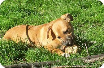 Boxer Mix Puppy for adoption in Buffalo, New York - Blake