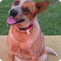 Adopt A Pet :: Lucy: Does tricks! - House Springs, MO