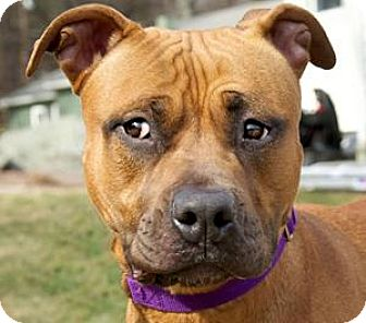 Pit Bull Terrier Mix Dog for adoption in Framingham, Massachusetts - Asia