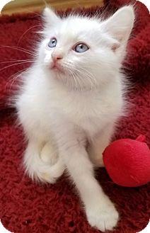 Domestic Longhair Kitten for adoption in San Dimas, California - Milk
